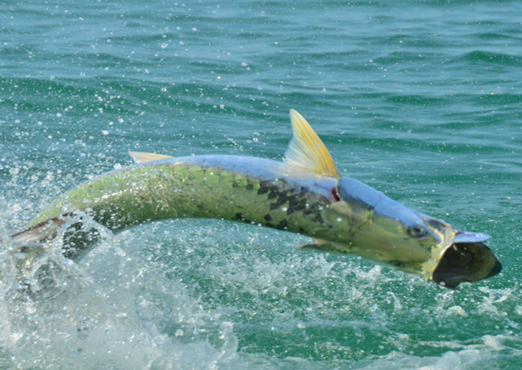 A picture of Fall Tarpon Fishing In Tampa Bay with Bag´Em Fishing Charters
